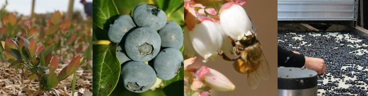 news blueberry country